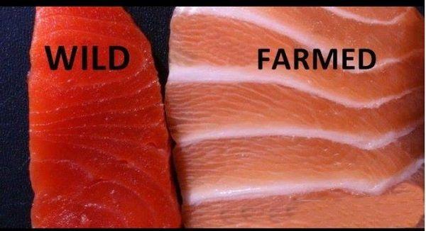 Al comer salmón, asegúrate de donde procede: Expertos afirman que puede ser mortal para tu salud