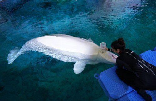 La tolerancia de las belugas al cambio climático