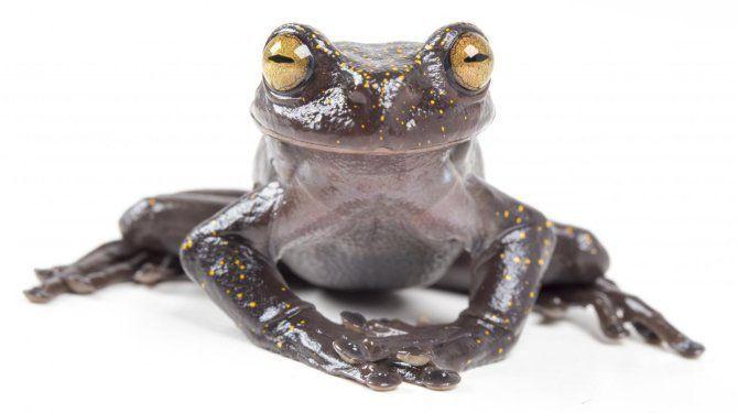 Descubren una nueva especie de rana arbórea en un área casi inexplorada de la Cordillera del Cóndor