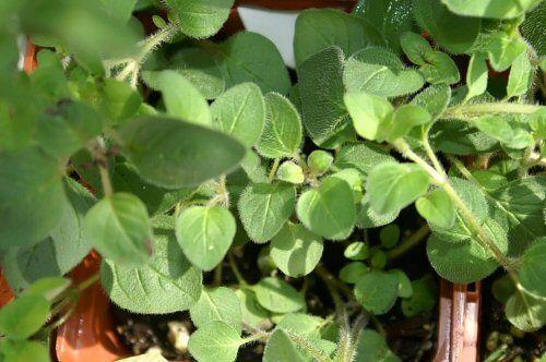 Melisa, orégano y lavanda demuestran su capacidad antioxidante