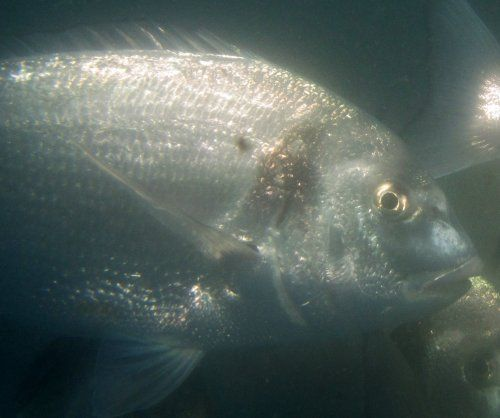 Proyecto para desarrollar piensos 100% ecológicos para acuicultura