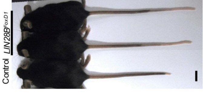 Accidentes genéticos de laboratorio producen ratones con colas extralargas y cortas