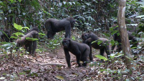 Los gorilas de llanura son tolerantes y sociables