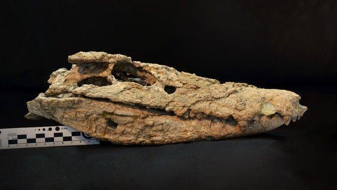 Descubren el esqueleto casi completo de un cocodrilo de 70 millones de años