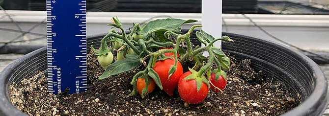 Desarrollan una pequeña planta de tomate apta para ser cultivada en estaciones espaciales