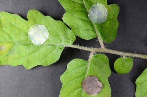 'Tiritas' para curar a las plantas