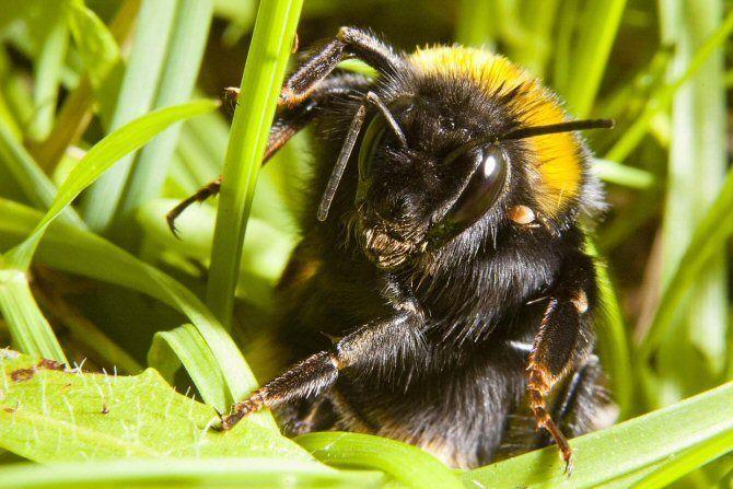 Cuidado con donde pisas: la reina de abejorro se esconde en el suelo