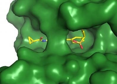 Sonda química puede regular vía de señalización y bloquear la entrada de arbovirus a las células    Las células de los seres