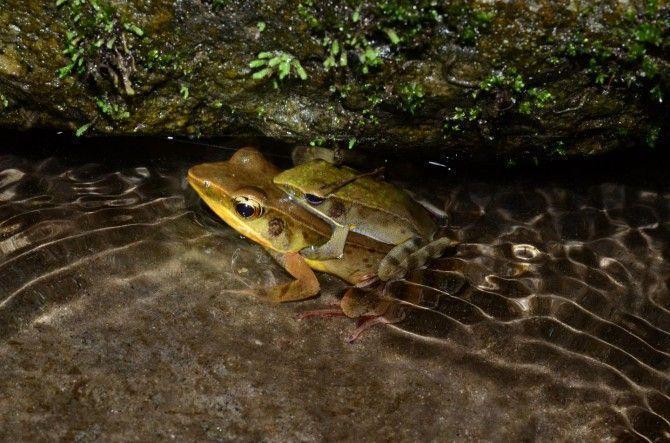 La rana de Warszewitsch es en realidad muchas especies diferentes