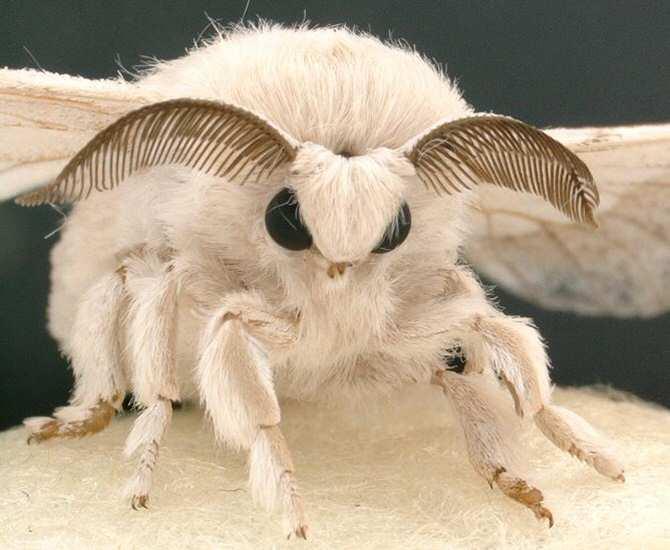 Así funciona el esperma que no fertiliza a las mariposas de seda