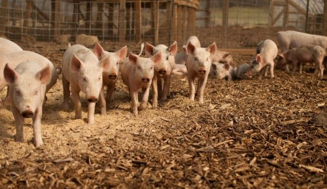'Pig' Data: cómo la gestión masiva de datos puede optimizar las explotaciones porcinas