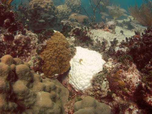 Nueva estrategia para restaurar los arrecifes de coral del caribe