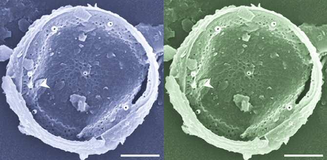 Vigilancia costera de microalgas marinas tóxicas e inocuas