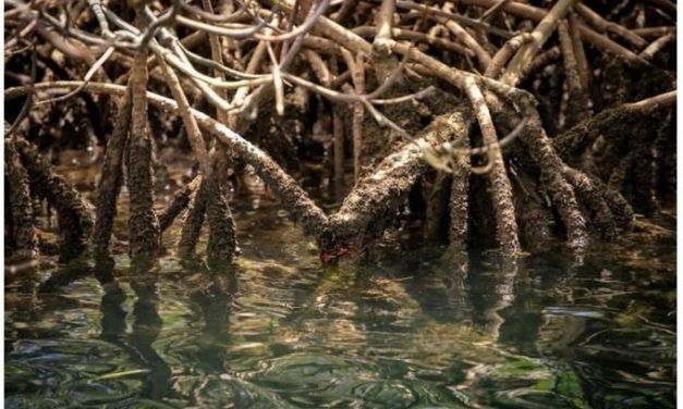 ¿Conoces los cuatro tipos de mangles que crecen en República Dominicana?