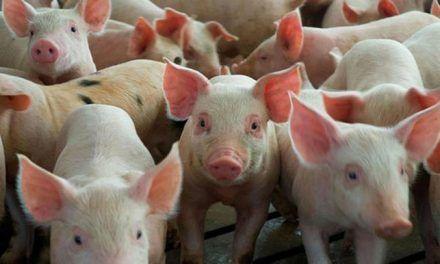 Gobierno pagará cerdos que sean sacrificados en Sánchez Ramírez