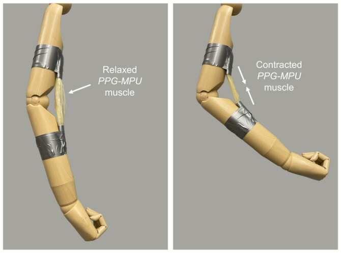 Polímero con memoria de forma y gran energía, ¿base para músculos de robots blandos?