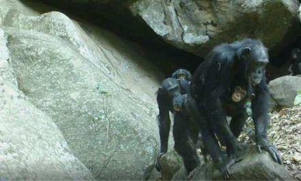 Los chimpancés de la sabana, un modelo para entender la evolución humana